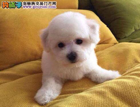 深圳纯种韩系泰迪熊茶杯犬出售玩具犬可爱至极