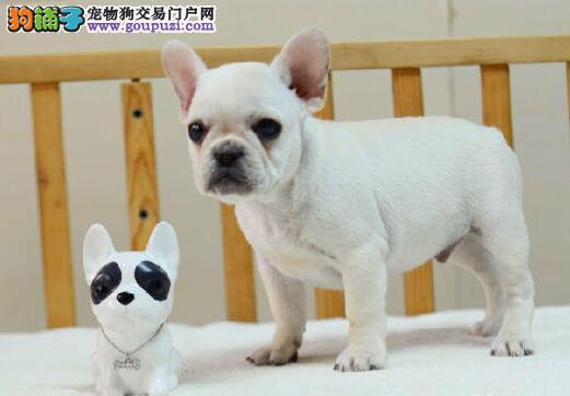 法国斗牛犬幼犬出售中,全程实拍直接视频,可签保障协议