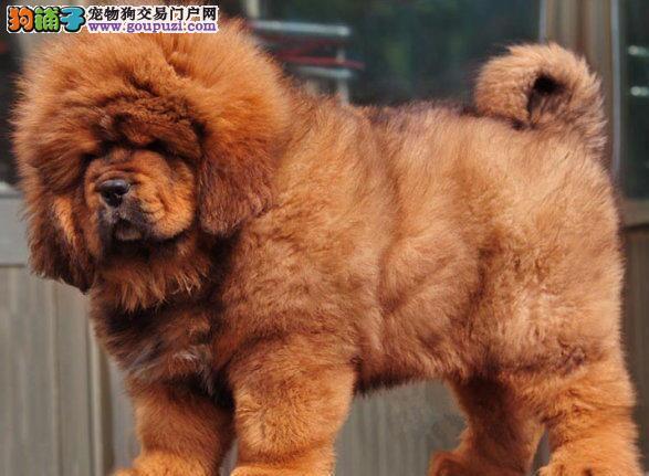 极品藏獒纯种幼獒—大狮头幼獒红獒 幼獒 金獒幼獒