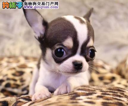衢州实体店低价促销赛级吉娃娃幼犬签署质保合同