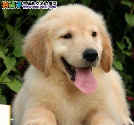 纯血统金毛幼犬、自家繁殖保健康、三包终生协议