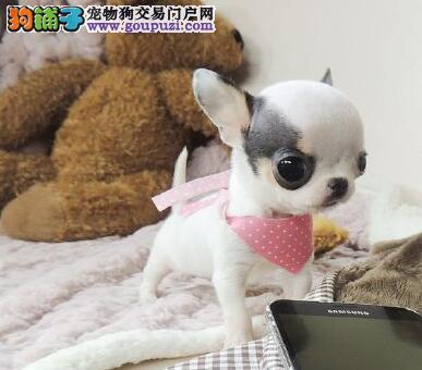 出售多只重庆纯种吉娃娃幼犬 健康信誉保证 诚信保障