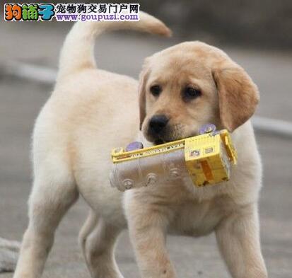 昆明正规犬舍出售拉布拉多犬 保证身体绝对健康