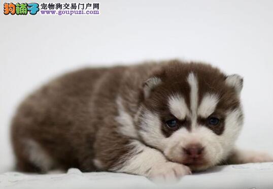 广州狗场出售顶级优秀哈士奇 欢迎各位爱狗朋友选购