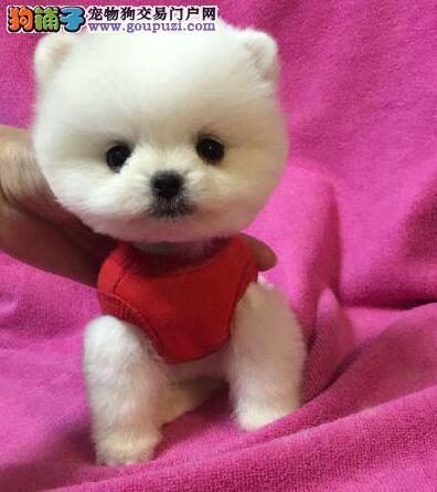 福州自家狗场出售纯种哈多利版博美犬 赛级品质优惠价