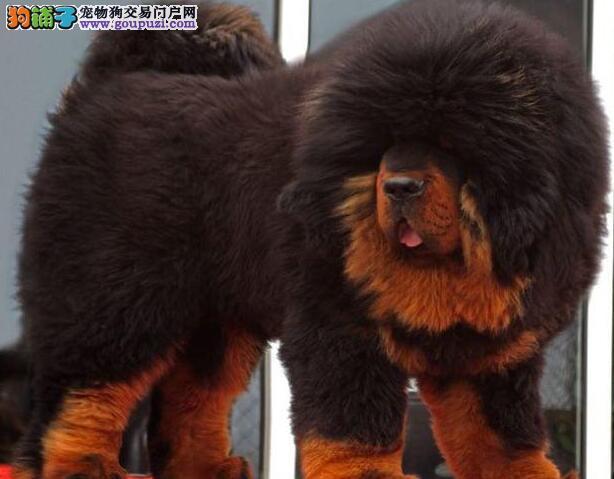 赛级品相藏獒幼犬低价出售签订协议包细小犬瘟热