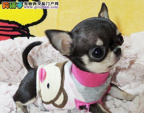 西安正规犬舍高品质吉娃娃带证书国外引进假一赔百