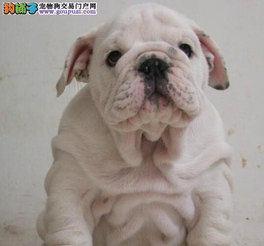 出售多种血系的南京斗牛犬 健康纯血统 质保终身