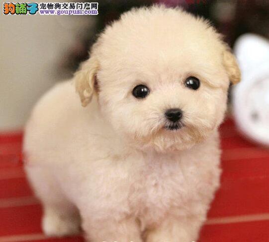 出售精品纯种韩系福州泰迪犬 可接受预定健康有保证