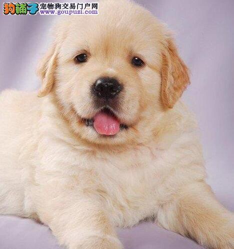 特价出售家养高品质超可爱金毛巡回犬宝宝