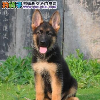 武汉大型狗场转让顶级血统德国牧羊犬疫苗已注射