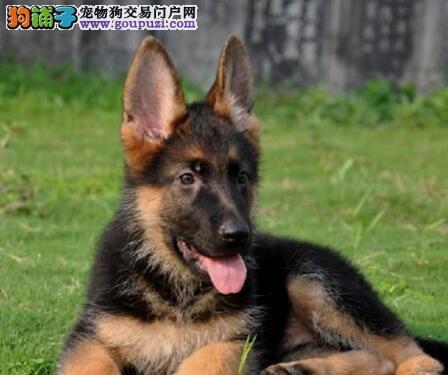 极品德国牧羊犬幼犬,假一赔十纯度第一,三包终生协议