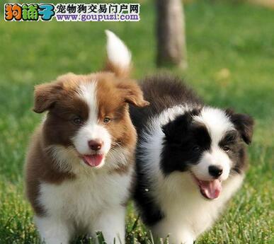 繁殖基地出售好品质边境牧羊犬武汉地区可上门购买