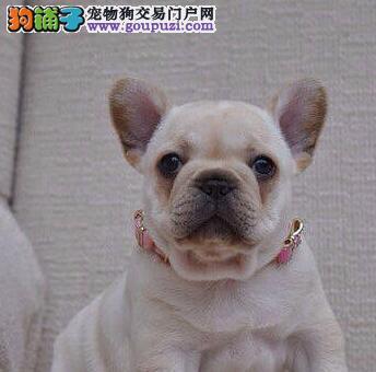 赛级品相上海法国斗牛犬幼犬低价出售喜欢的别错过