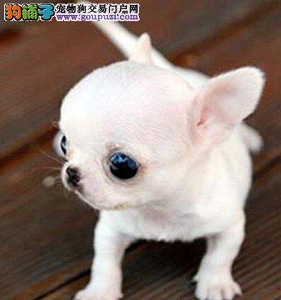热销吉娃娃幼犬、假一赔十价位最低、等您接它回家