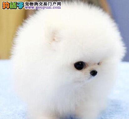 狗场促销精品珠海博美犬球形体可见狗狗父母