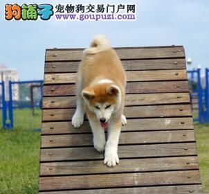 犬舍直销品种纯正健康秋田犬品质一流三包终身协议