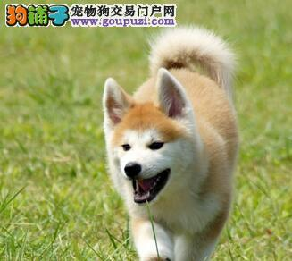 秋田犬宝宝热销中,三针齐全保健康,质保健康90天