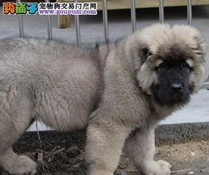 纯种俄系广州高加索幼犬超低价出售 可免费送狗上门