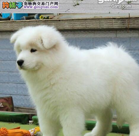 精品纯种微笑天使萨摩耶上海狗场直销 可办理证书