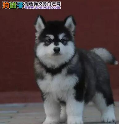 直销价格出售成都最高品质阿拉斯加雪橇犬 毛色佳