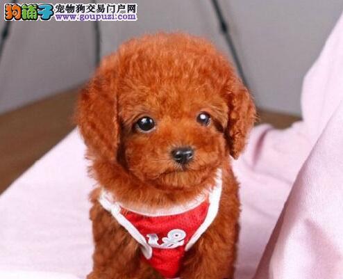 出售茶杯玩具血系的合肥贵宾犬 可随时上门选购看狗