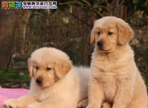 大骨量双血统广州金毛幼犬出售 终身质保签协议
