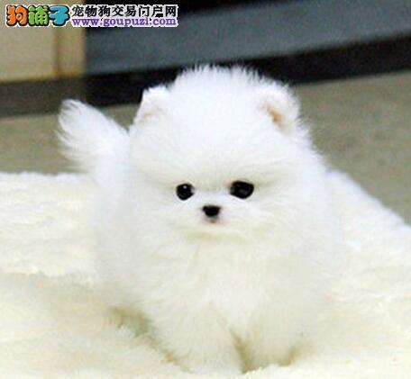 实物拍摄的岳阳博美犬找新主人品质血统售后均有保障