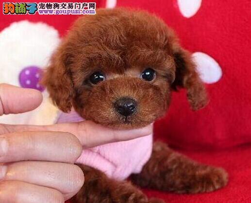 天津出售贵宾犬幼犬品质好有保障保证品质完美售后
