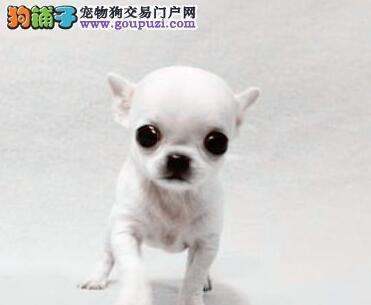 纯种犬繁殖基地专业缔造优质吉娃娃犬 已驱虫 质保三年