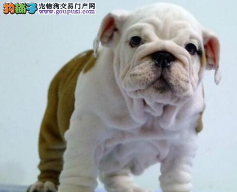 英国斗牛犬幼犬热销中,实物拍摄直接视频,签订活体协议
