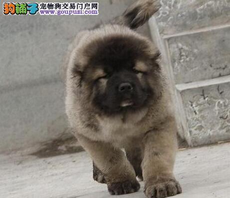 广州华达专业繁殖中心现有高加索犬幼犬热卖中