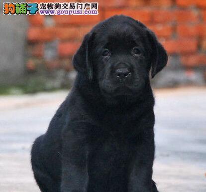 拉布拉多幼犬热销中 可看狗狗父母照片 签协议可送货