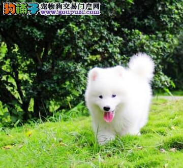 专业正规犬舍热卖优秀的广元萨摩耶微信看狗真实照片包纯
