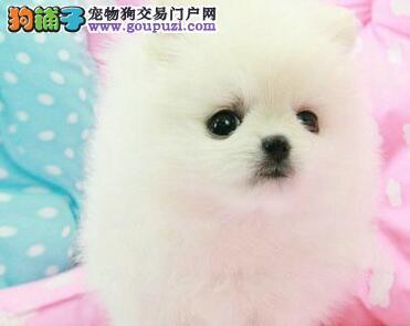 特价出售小型犬博美品质保证欢迎选购