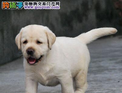 出售纯种冠军级血系福州拉布拉多犬 可来犬舍上门挑选