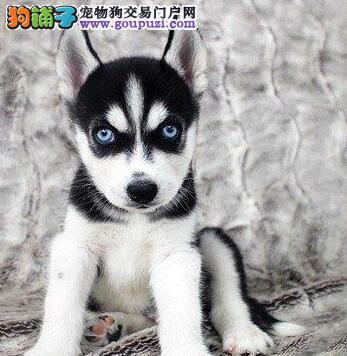 郑州大型狗场直销高品质哈士奇可办理血统证书