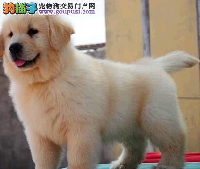 家养一窝超可爱的杭州小金毛找新主人 签订健康协议