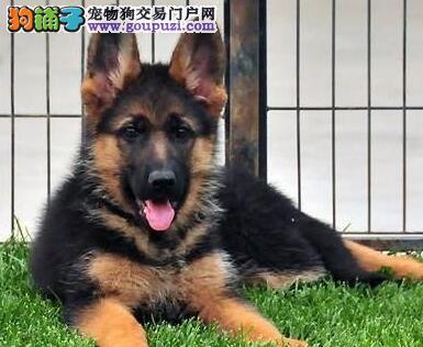 郑州狗场热销顶级德国牧羊犬驱虫已做可签合同