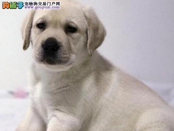 热销宁波拉布拉多犬血统绝对纯正 已做好进口疫苗驱虫