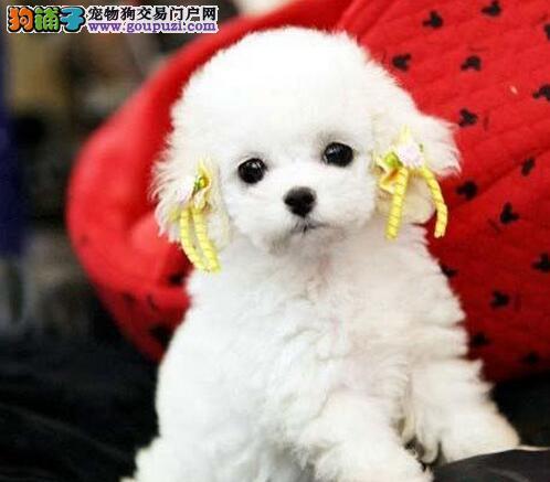 出售超高品质颜色齐全的济南泰迪犬 爱狗人士优先选购