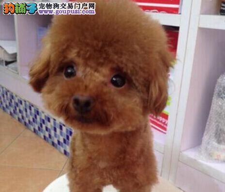 苏州实体店直销品相好的泰迪犬品质保证