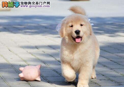 出售纯种金毛猎犬 金毛犬巡回犬 狗场低价出售金毛犬