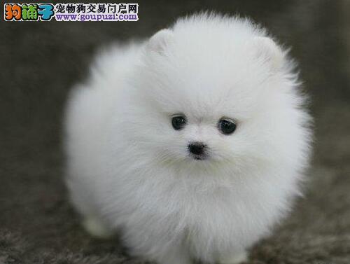 天津直销精品博美幼犬 品质保证血统纯正 欢迎上门挑选
