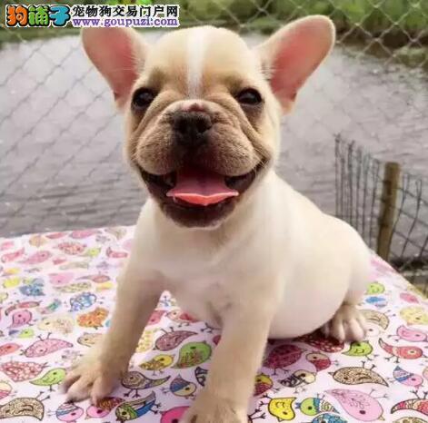 杭州专业犬舍转让纯种斗牛犬品相好可见父母