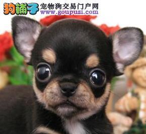 上海狗舍直销高品质吉娃娃 品相完美可爱至极