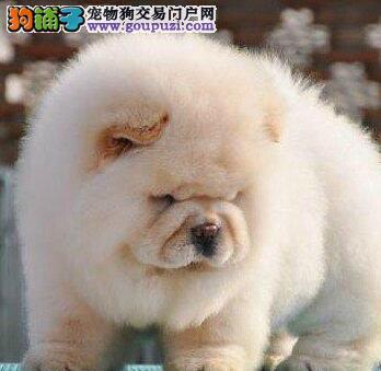 特价出售肉嘴松狮犬上海周边地区购买有礼品