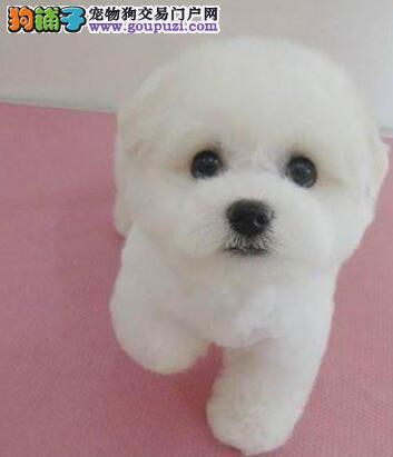 出售超可爱棉花糖版杭州比熊幼犬 品相极佳 非诚勿扰