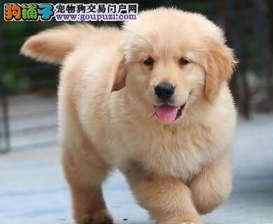 超人气的的金毛幼犬出售中 保证纯种健康