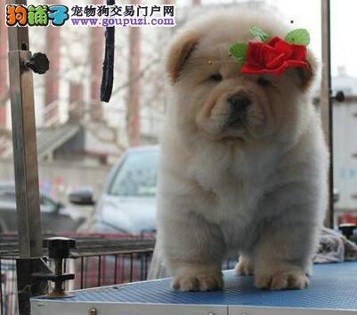 出售大嘴紫舌济南松狮犬 支持全国发货保证价格优惠